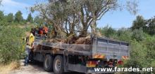 مشروع مشترك بين المجلس المحلي وكاكال لزراعة الزيتون في القرية